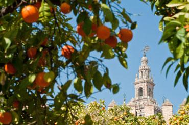 The famous orange trees in Seville
